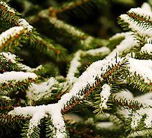 Snowy branch by Thad Zajdowicz