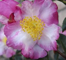 Like a Miniature Rock Rose by seeingred13