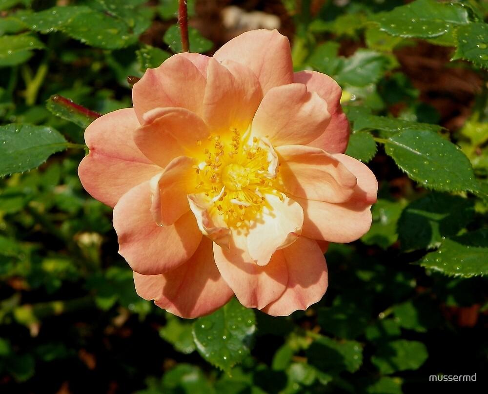 Peach Rain by mussermd