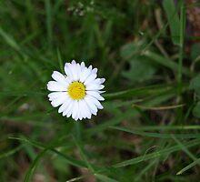 Daisy by paulb33