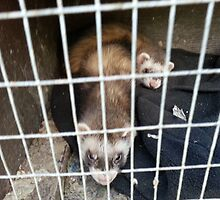 Polecats releaxed by smithfield1234
