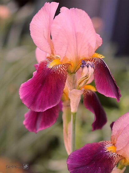 Tall Bearded Iris named Indian Chief by JMcCombie