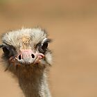 Over Zealous Emu  by DavidONeill