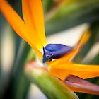Strelitzia by EdwardKay