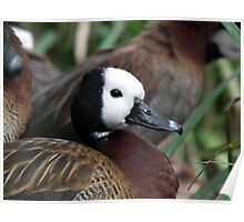 White Faced Whistling Duck Poster
