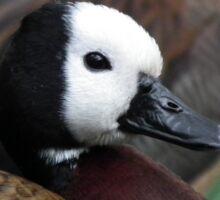 White Faced Whistling Duck Sticker