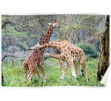 Giraffes Necking Poster
