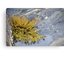 Seaweed Amongst the Rocks Metal Print