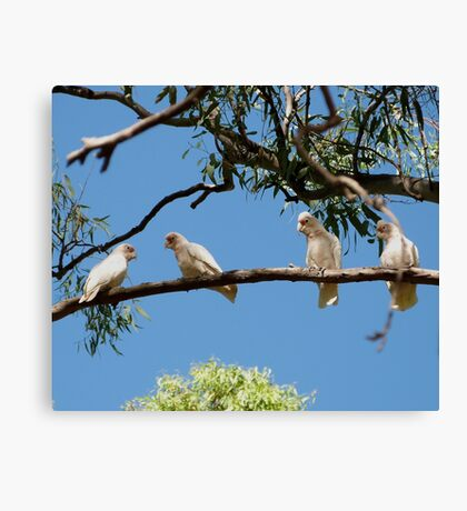 'HEY! YOURE FACING THE WRONG WAY!' Long Billed Corella's.  Canvas Print