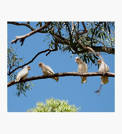 'HEY! YOURE FACING THE WRONG WAY!' Long Billed Corella's.  Photographic Print