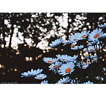 Daisy Daydreams Photographic Print