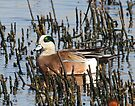 American Wigeon by Dennis Cheeseman