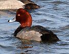 Redhead duck by Dennis Cheeseman
