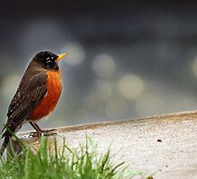 Robin in the Rain by Bine