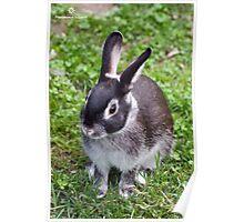 Cute Silver Marten Rabbit  Poster
