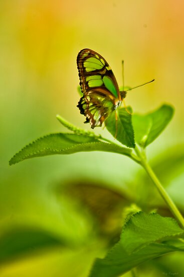 Lime Butterfly © by GardenJoy