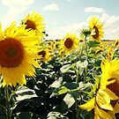 Sunflowers by Falko Follert