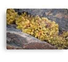 Seaweed Between Rocks Metal Print