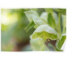 Hellebores - Helleborus Argutifolius (Ranunculaceae) Poster