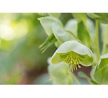 Hellebores - Helleborus Argutifolius (Ranunculaceae) Photographic Print