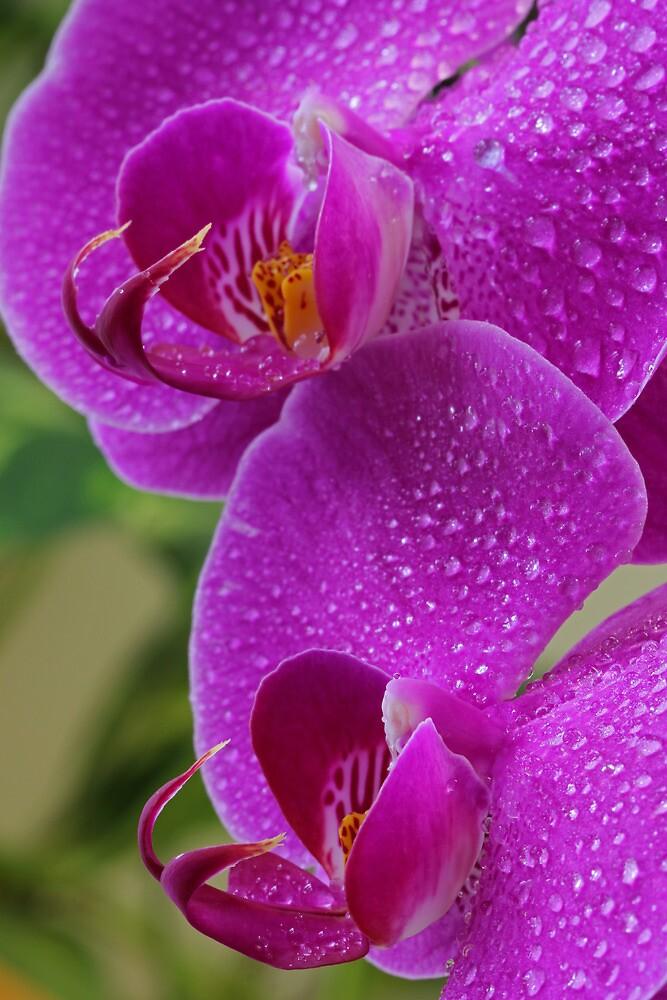 Orchid Sisters by Lynn Gedeon