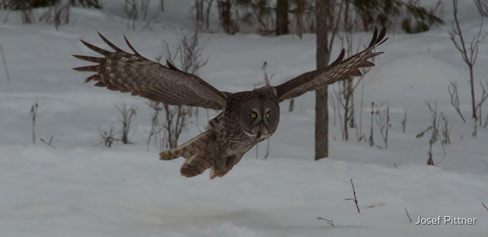 Great Grey Owl in flight (Part Two)- Ottawa, Ontario by Josef Pittner