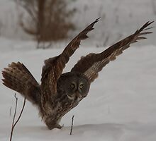 Great Grey Owl with wings - Ottawa, Canada by Josef Pittner