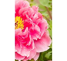 tree peony in pink Photographic Print