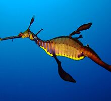Weedy Seadragon (Phyllopteryx taeniolatus) by Sean Elliott