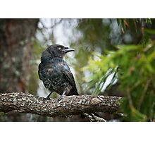 Forked Tail  Drongo Photographic Print