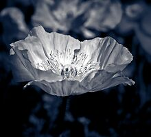 Poppy IV by IamPhoto