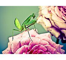 Pink rose , Pray Mantis  Photographic Print