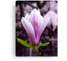 Magnolia blooming in Spring VRS2 Canvas Print