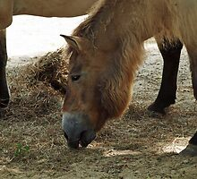Przewalski Horse - National Zoo, Washington D.C. by Bine