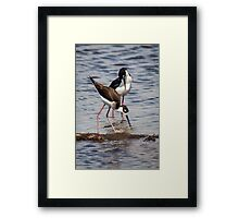 A Beautiful Pair of Black-Necked Stilts Framed Print