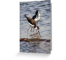 A Beautiful Pair of Black-Necked Stilts Greeting Card
