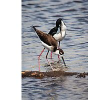 A Beautiful Pair of Black-Necked Stilts Photographic Print