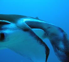Manta Ray - who is watching who? by Sean Elliott