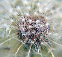 Dandelion Seed Head by juliesimpson