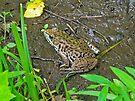 American Bullfrog - Rana catesbeiana by MotherNature