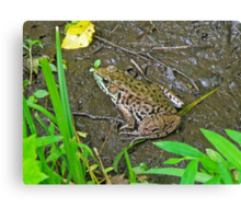 American Bullfrog - Rana catesbeiana Canvas Print