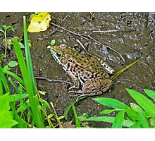 American Bullfrog - Rana catesbeiana Photographic Print