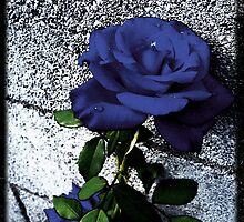 Late Summer Rose - Blue Velvet by SRowe Art