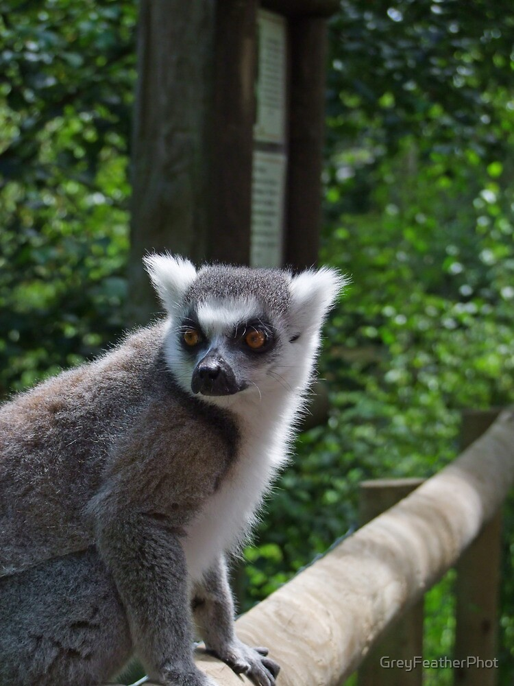 Ring Tailed Lemur - Cards/Prints by GreyFeatherPhot