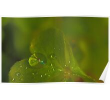Raindrops on Oxalis Leaf Poster