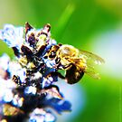 Bee on Common Bugle VRS2 by vivendulies