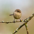 FEMALE BUSHTIT by Sandy Stewart