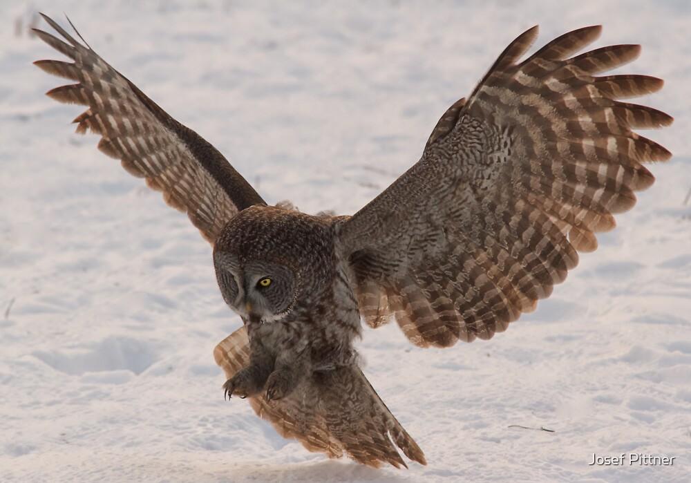 Great Grey Owl in Flight (Day 2) - Ottawa, Ontario by Josef Pittner