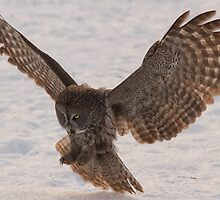 Great Grey Owl in Flight (Day 2) - Ottawa, Ontario by Josef Pittner