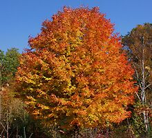 Sugar Maple #1 by Kane Slater